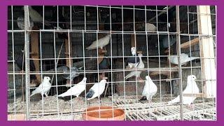 akbar pigeon loft pigeons video by pigeons market.net