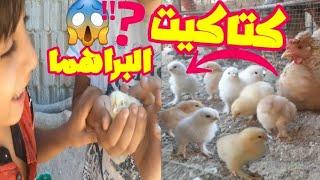 شاهد كتاكيت الدجاج البراهما تتفاعل بعد اخراجها من القفص تربية كتاكيت الدجاج البراهما