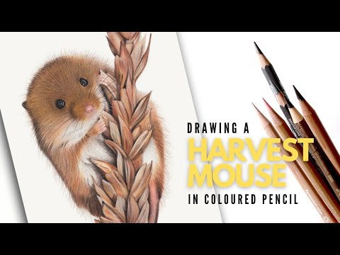 drawing-a-harvest-mouse-|-realistic-coloured-pencil-drawing