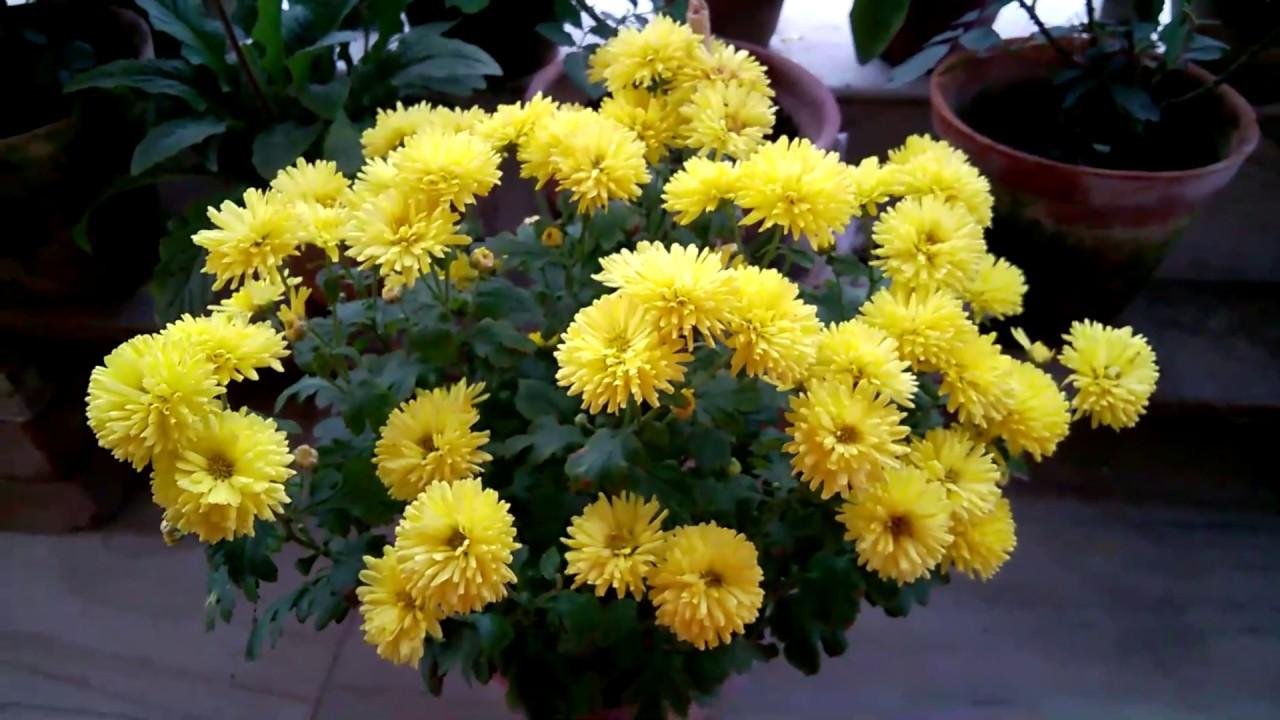 Chrysanthemum Flower Bengali Name Best Flower Wallpaper