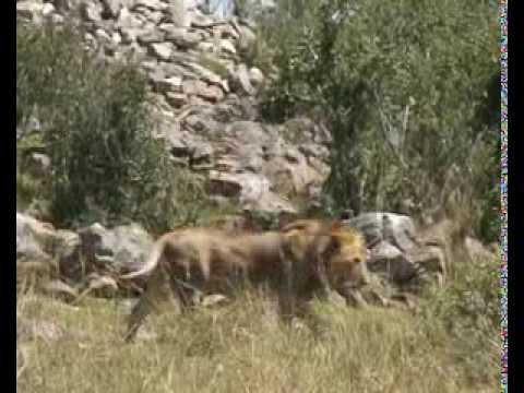 Masai Mara - film, video og guide til safari i Kenya - Rejseprogrammet.dk