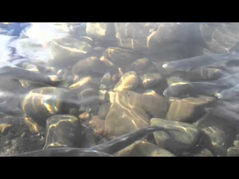 Sandy River Smelt are running strong