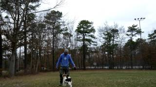 This is just a little obedience session with my 10 month old Wire F...