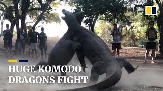 Two huge Komodo dragons fight on Indonesian island