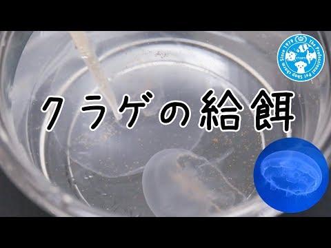 【チャーム】クラゲの給餌 海月くらげ 栄養たっぷりブラインシュリンプ! jellyfish