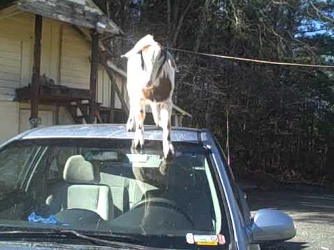 Bad goats! No one can stop them!