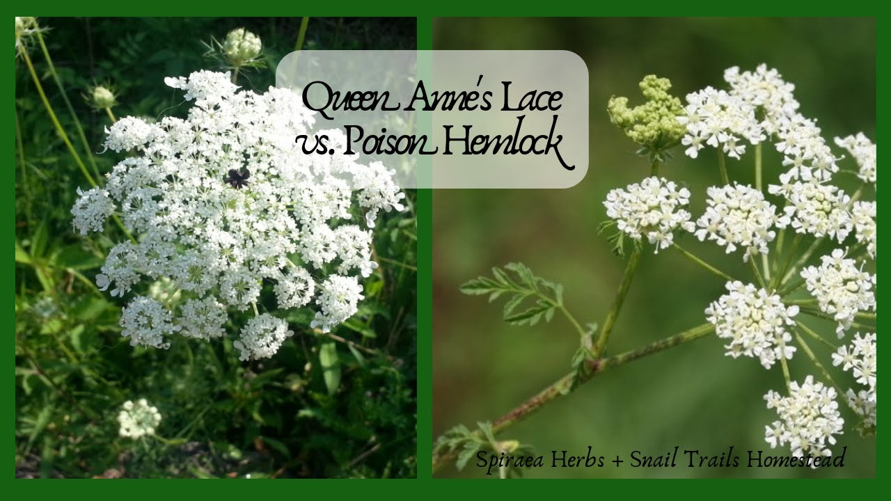 Queen Anne's Lace vs. Poison Hemlock: Identify the differences in the wild! #Herbalmedicine