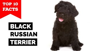 Black Russian Terrier  Top 10 Facts