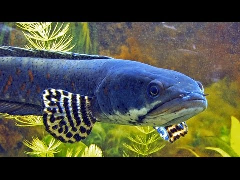 Channa Pulchra - The Pretty Peacock Snakehead