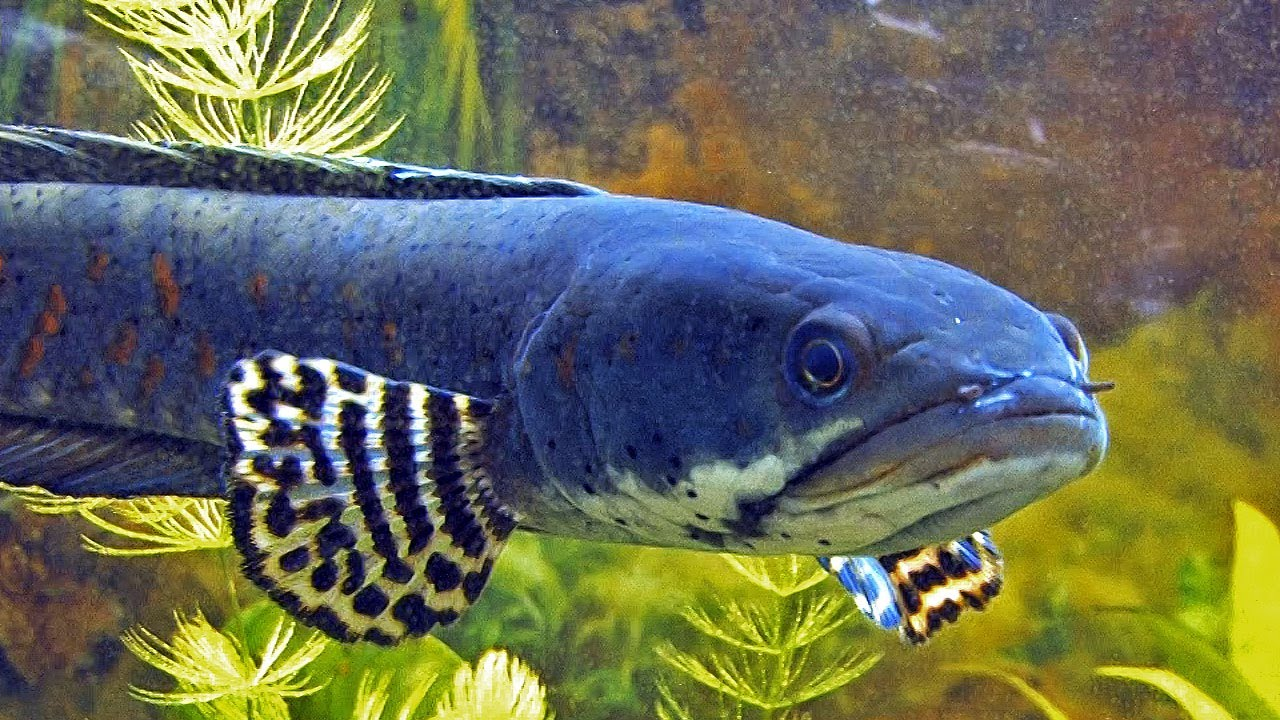 Channa Pulchra The Pretty Peacock Snakehead Youtube