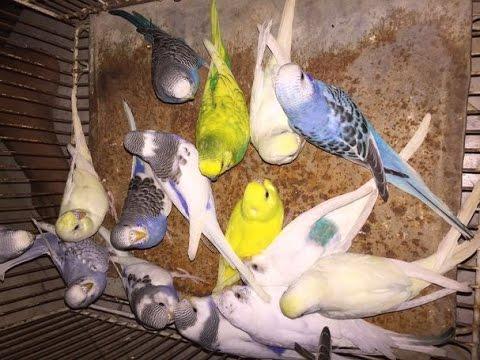 Blue & Green Ready to breed Australian parrots 03129442750 Zain Ali farming  in Pakistan