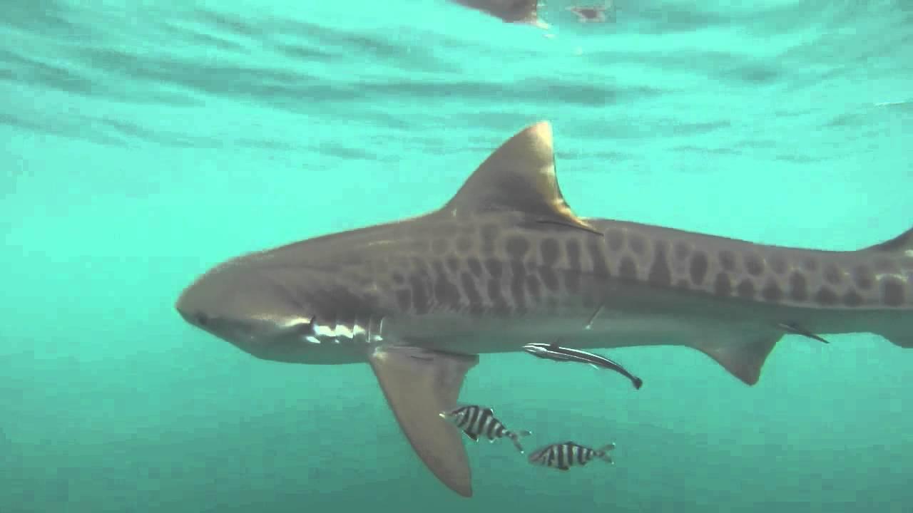 tiger shark 1280x800 - photo #32