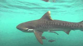Catching a Tiger shark in Clearwater Florida.
