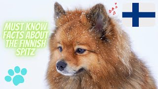 Getting To Know Your Dog's Breed: Finnish Spitz Edition