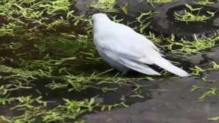 Leucistic Turdus pilaris - (Fieldfare, Björktrast) - bathing