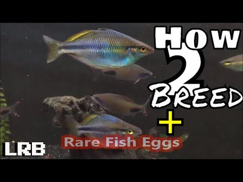 Another Way To Breeding Egg Scatterers And Collecting Rare Fish Eggs