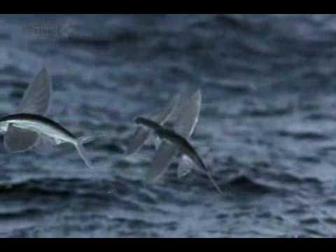 Life - Flying Fish