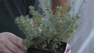 Gardening for Trees & Plants : Harvesting Herbs
