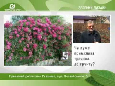 Штамбовые розы Полезная информация из частного питомника роз .