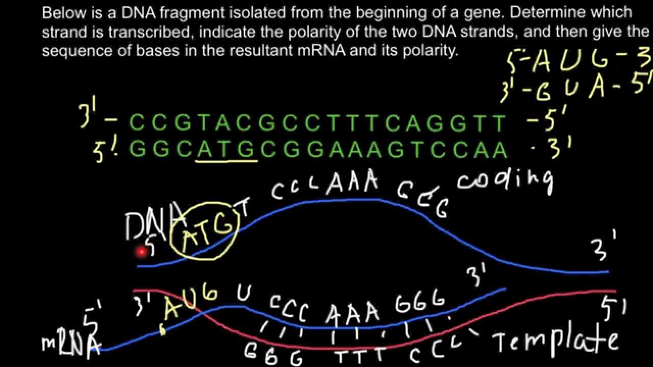 How To Determine Which Strand Of Dna Is Transcribed Into Mrna Youtube
