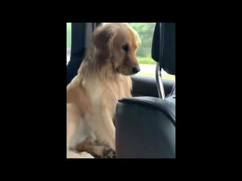 Cute And Funny Golden Retriever Compilation