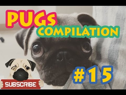 Funny Dogs but only Pug Videos - Pugs are Awesome #15 | Instapugs
