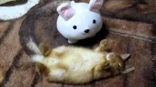 可愛い寝方 生後1ヶ月 ♪ネザーランドドワーフ うさぎ♪ He sleeps. Rabbit