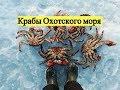 Крабы Охотского моря / Catching a crab under the sea ice. Sea of Okhotsk