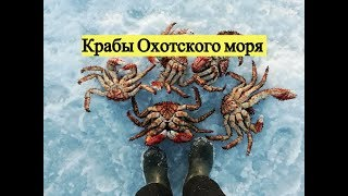 Baixar Крабы Охотского моря / Catching a crab under the sea ice. Sea of Okhotsk