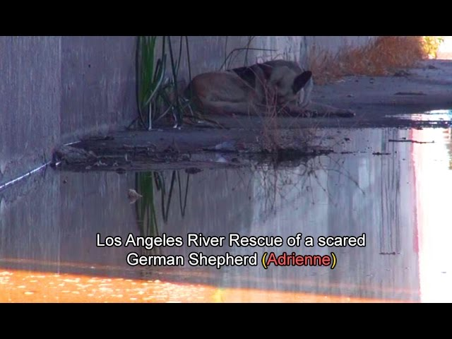 Hope For Paws: Los Angeles River Rescue of a scared German Shepherd (Adrienne).  Please Share.