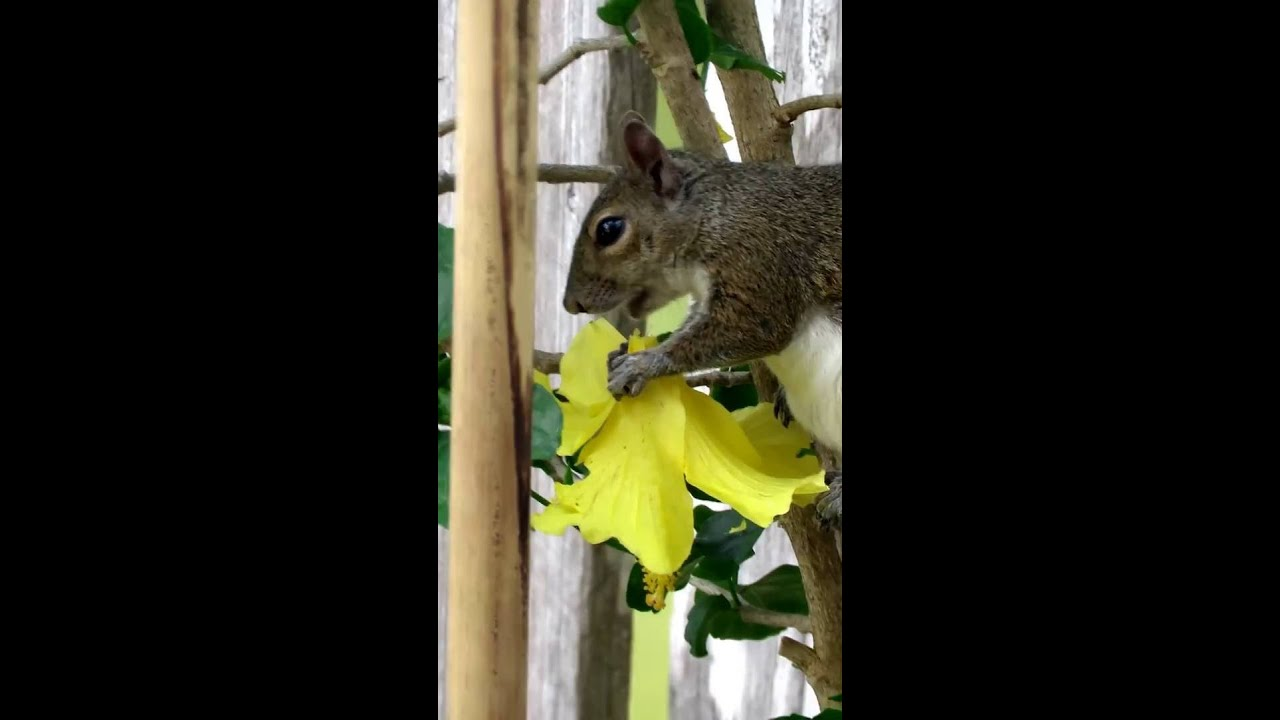 Gray Squirrel Eating Yellow Hibiscus Flower Youtube
