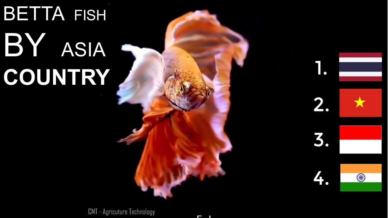 Best beautiful BETTA Fish RANKING by Country asian - Indonesia, India, VietNam , Thailand.