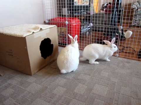 New Zealand Rabbit Squeaks And Nibbles