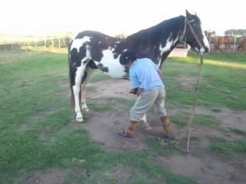 Vendo overo negro caballo de silla vendido youtube for Sillas para caballos