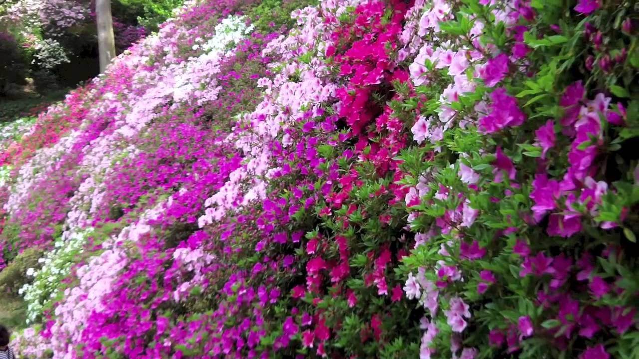 A Japanese Azalea Garden Daikozenji Tsutsuji Tera