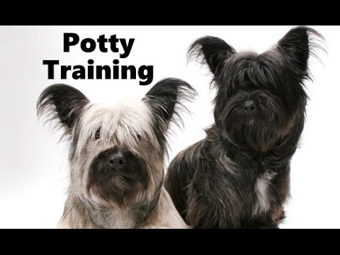 How To Potty Train A Skye Terrier Puppy - Skye Terrier House Training Tips - Skye Terrier Puppies