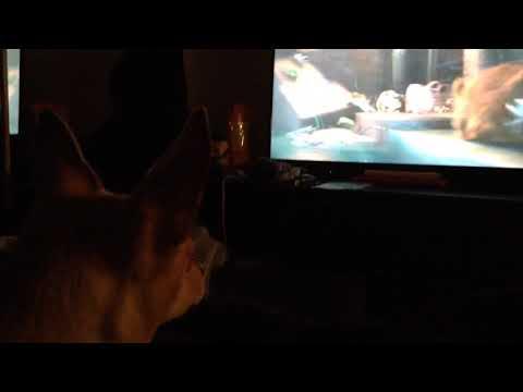 Chihuahua watchin movie Pets life