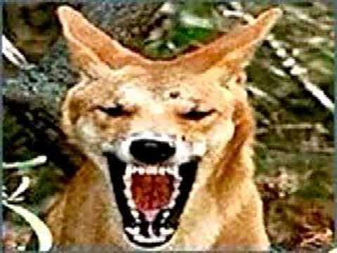 Screaming Coyote - YouTube