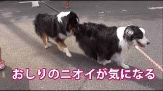 散歩の途中、看板犬ローザは、オーストラリアン・シェパードくんから迫...