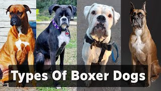 Boxer dog types |  7 types of boxer dogs & Their Differences  Boxer dog colors  Boxer types