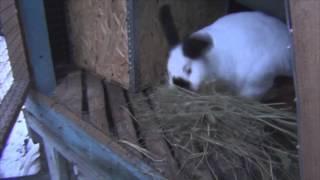 Как понять что крольчиха собирается рожать?Крольчиха делает гнездо.