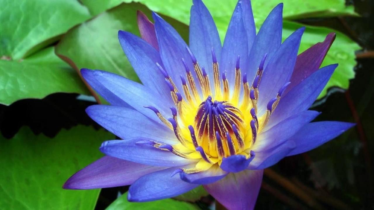 National Flower Of Sri Lanka Youtube