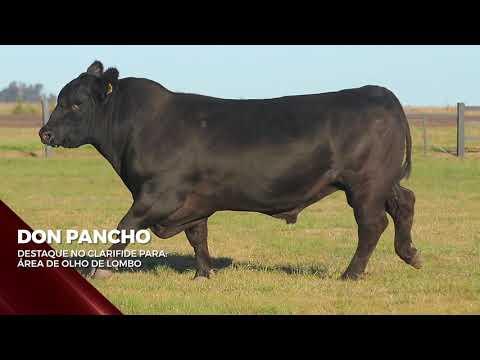 Touro Don Pancho - Aberdeen Angus indicado para IATF - RENASCER BIOTECNOLOGIA VIDEO