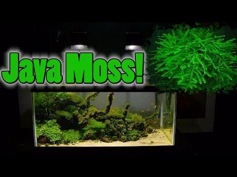 How To Grow Aquarium Moss & Liverwort: Java Moss Part 3