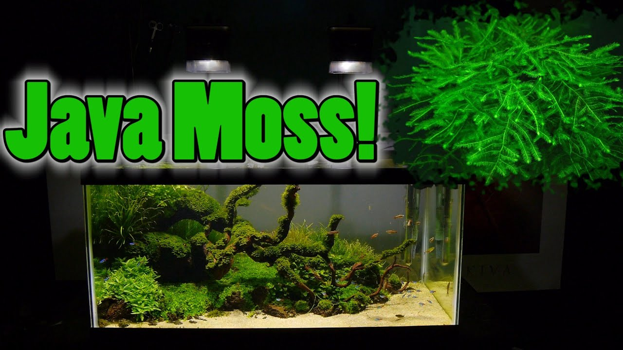How To Grow Aquarium Moss & Liverwort: Java Moss part 3 ...