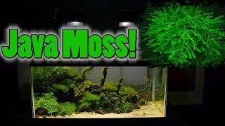 How To Grow Aquarium Moss & Liverwort: Java Moss part 3