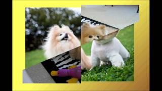 Spitz Pomeranian Boo
