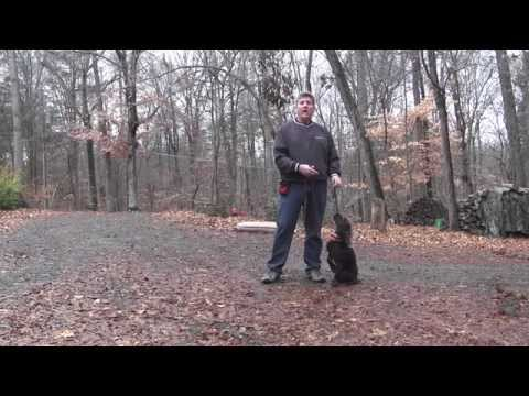 Abel - Boykin Spaniel Puppy Training - Greensboro NC