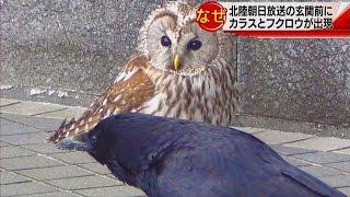 カラスとフクロウが北陸朝日放送に出現