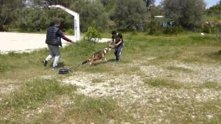 Ivan Apbt - Sled Weight Pulling - Trix And Sports Dog Club ( Greece )